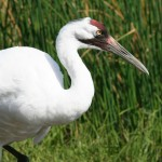Whooping Crane - side view_iStock