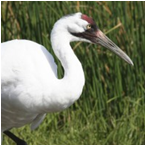 image of Whooping Crane
