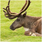 le Caribou des bois