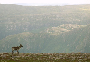 Image of a caribou in Gros Mourne