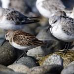 Wsandpiper among sanderlings_Rick Leche