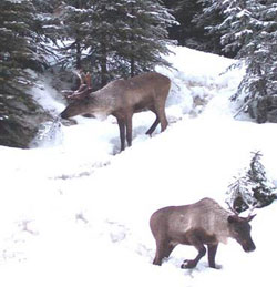 Image of a pair of caribou in the snow