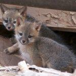 Image of Gray Fox Kits