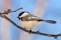 Photo of a Chickadee