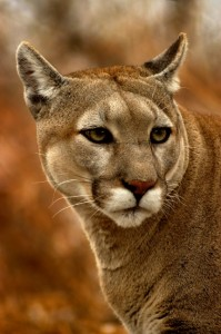 iStock_cougar2