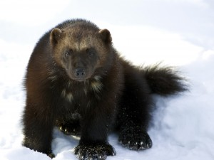 Image of a Wolverine