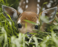 Image of a deer