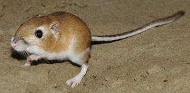 Ord's Kangaroo Rat