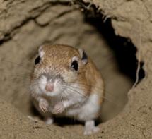 Image of ord's kangaroo rat