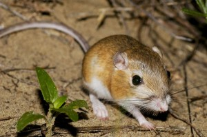 Ords Kangeroo Rat