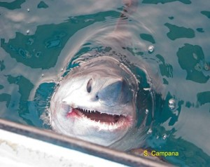 porbeagle head sticking out of water_SCampana
