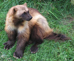 Image of a wolverine in grass