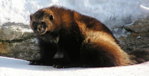 Image of a wolverine in snow