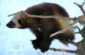 Image of a Wolverine on a branch
