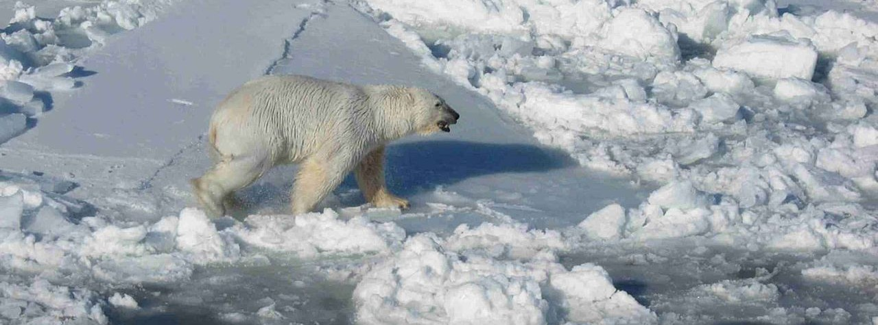 Image of a Polar bear one ice