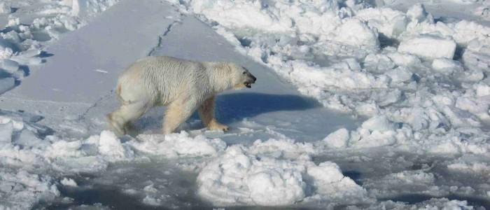 Image of a Polar bear one ice