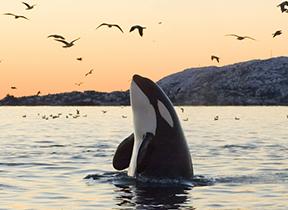 Nature Canada Orca