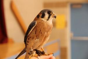 American Kestrel, Falcon-Ed,