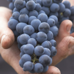 Southbrook Vineyards: an example of sustainable practices for vineyards everywhere