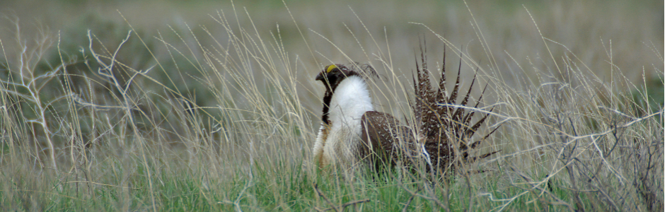 Image of a Sage Grouse