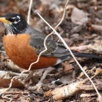 American Robin by Lt. Shears