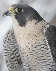 GL_peregrine-falcon