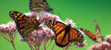 The Monarch Butterfly Needs Your Help!