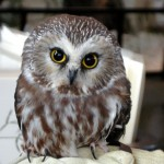 Northern Saw-whet Owl by Bob Bodge