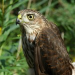 Sharp-shinned Hawk by Tanya Dewey