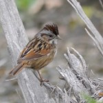 Swamp Sparrow by Matt Muir