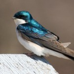 Tree Swallow by Mctheriot