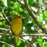 Yellow warbler by Liza Myers