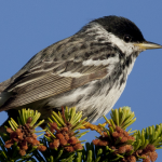 """Boreal Birds Need Half"" report released today"