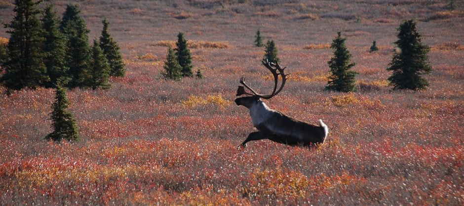Image of caribou