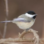 chickadee by Jeff Whitlock