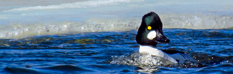 Image of a common goldeneye