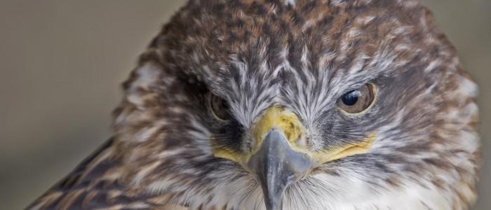 image of ferruginous hawk