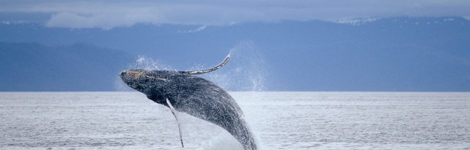 Image of Humpback Whale