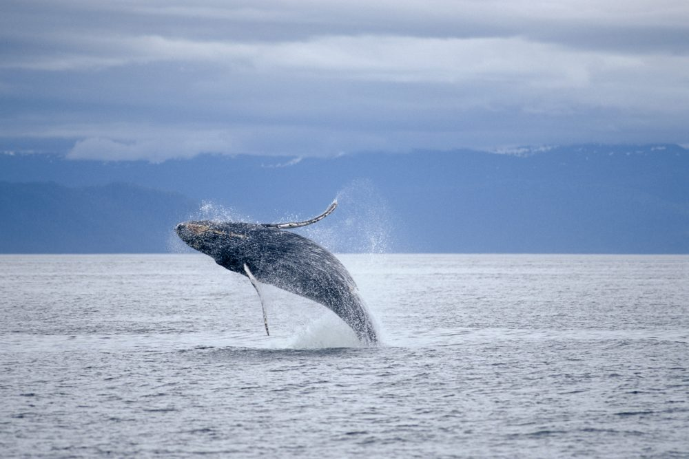 Why is downgraded protection for BC's Humpback Whales an extra special concern?