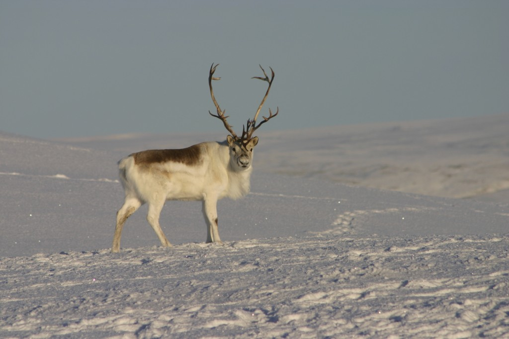 Image of peary caribou