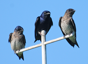 image of Purple Martin by Kurt Hennige