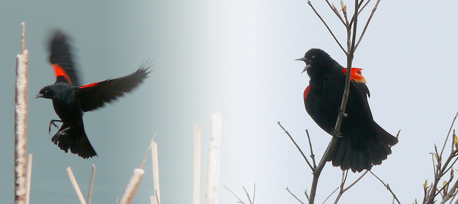 image of two blackbirds
