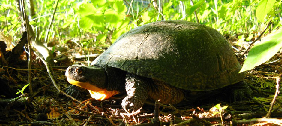 Image of blanding's turtle
