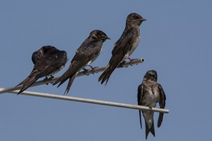 Image of tagged Purple Martins