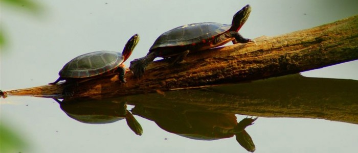 Image of two turtles on a log
