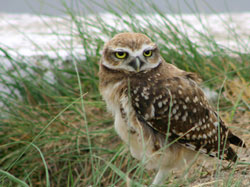Burrowing_owl2