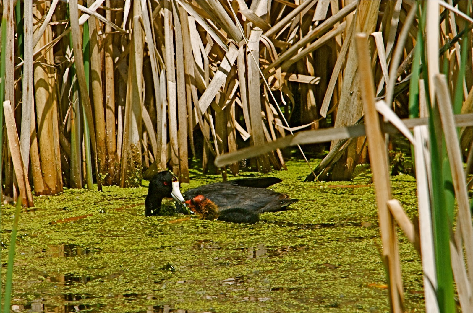 American Coot with Young