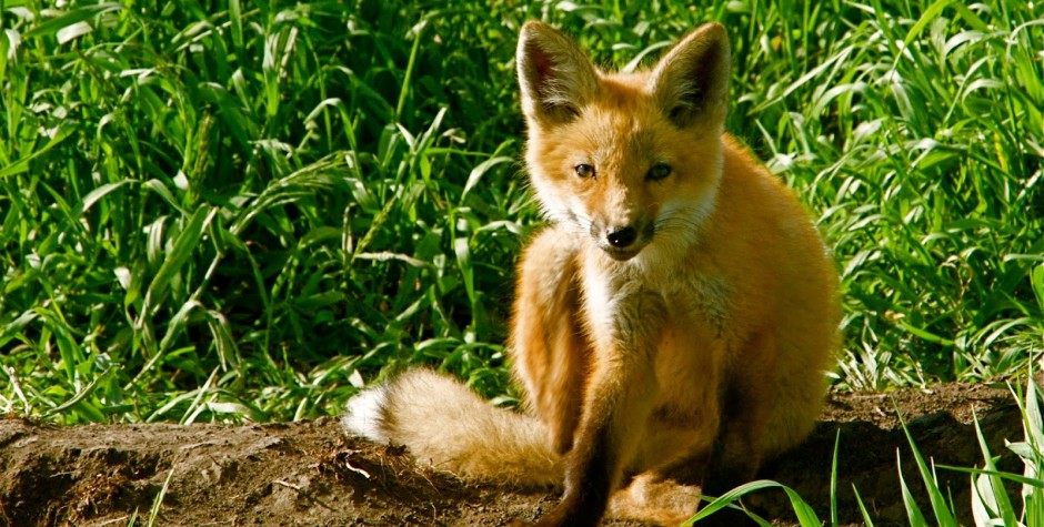 Itchy Red Fox pup