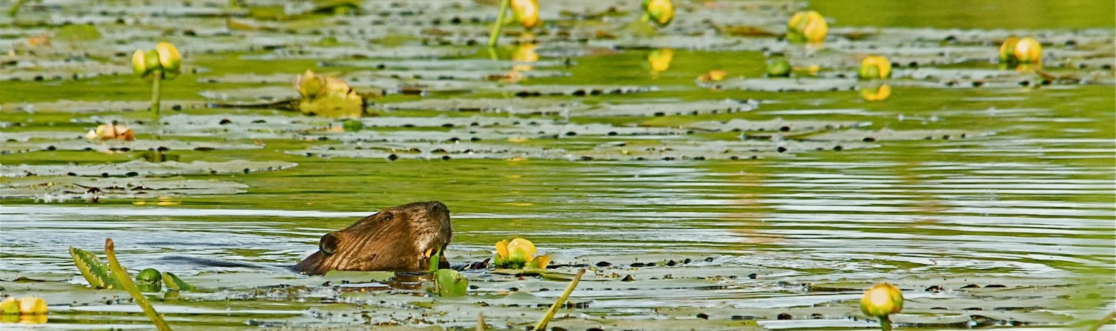 Beaver Eating Water Lily