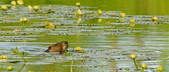 Image of Beaver Eating Water Lily